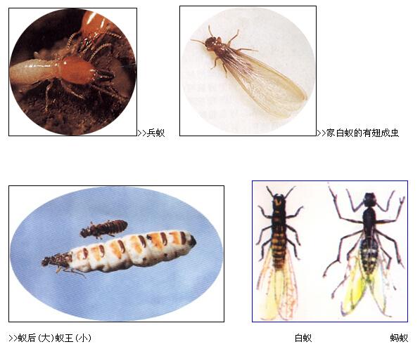 白蚁的危害大的原因是什么图片